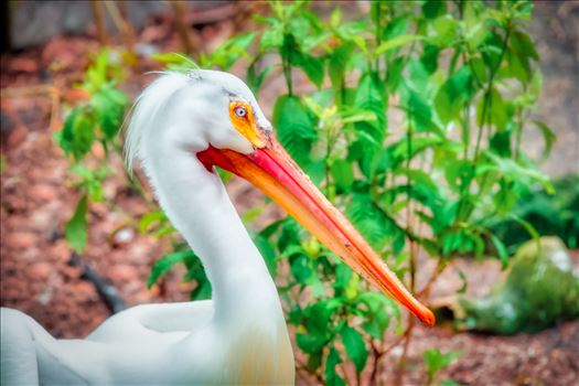 white pelican by Terry Kelly Photography