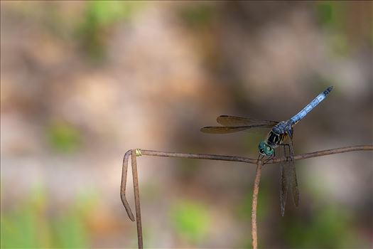 blue green dragonfly on rusted wire fence ss as 8500196.jpg by Terry Kelly Photography