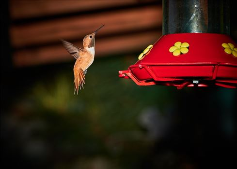 hummingbird hovering near feeder 8500590 ss as sf.jpg by Terry Kelly Photography