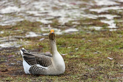 goose sitting on grass ss RAW6185.jpg by Terry Kelly Photography