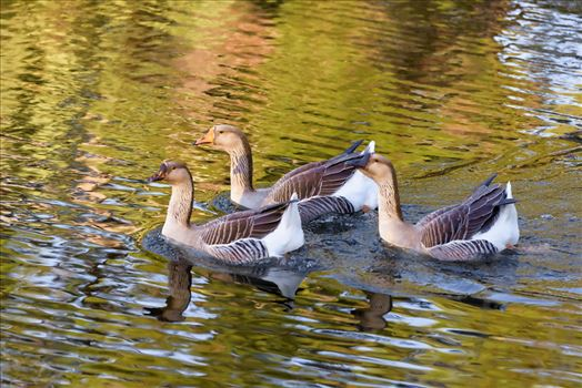 three geese RAW6399-instagram.jpg by Terry Kelly Photography