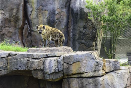 Hyena.jpg by Terry Kelly Photography