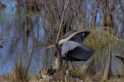 great blue heron st. andrews state park 8108035.jpg -