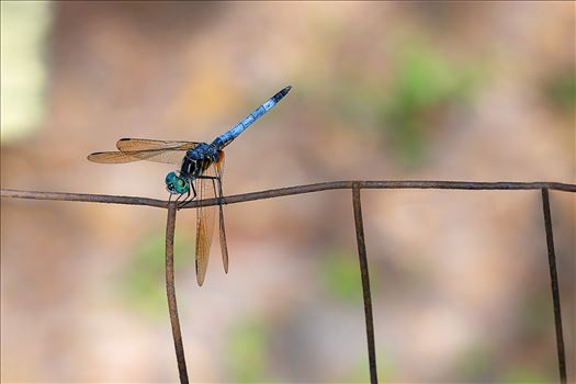 blue green dragonfly on rusted wire fence ss as 8500197.jpg by Terry Kelly Photography