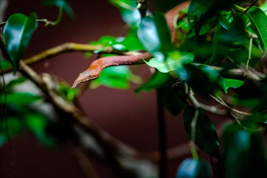 madagascar leaf nosed snake ss as sf.jpg by Terry Kelly Photography