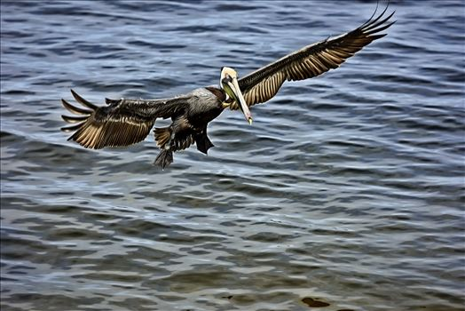 brown pelican landing st. andrews state park 8108262.jpg by Terry Kelly Photography