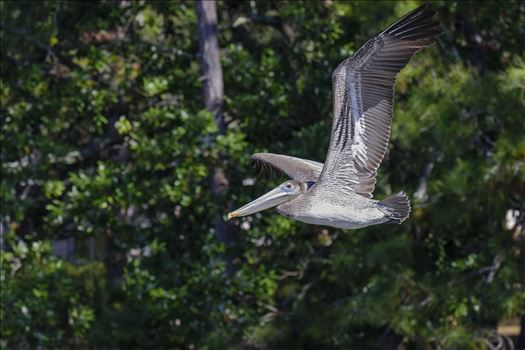 close up brown pelican flying ss 8106764.jpg by Terry Kelly Photography