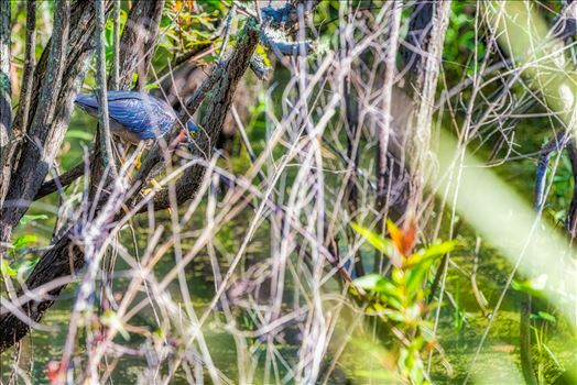Green Heron by Terry Kelly Photography