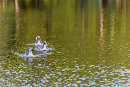 three gease swimming in pond ss RAW6220.jpg by Terry Kelly Photography