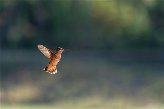 hummingbird in flight ss as sf 8500846.jpg by Terry Kelly Photography