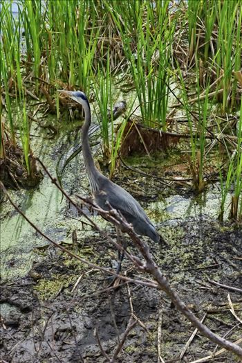 great blue heron and gator at gator lake st. andrews state park 8108376.jpg by Terry Kelly Photography