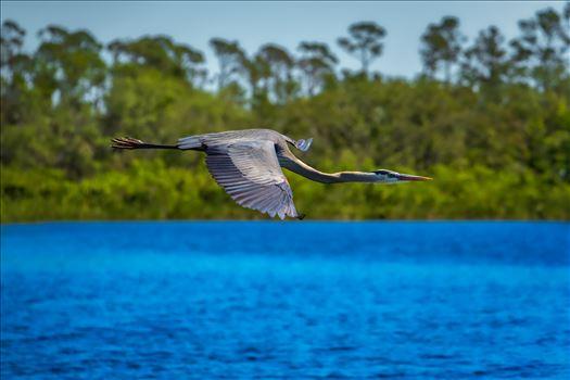 great blue heron - Great blue heron in flight