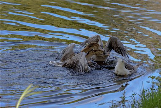Geese mma at lake caroline 8108145.jpg by Terry Kelly Photography