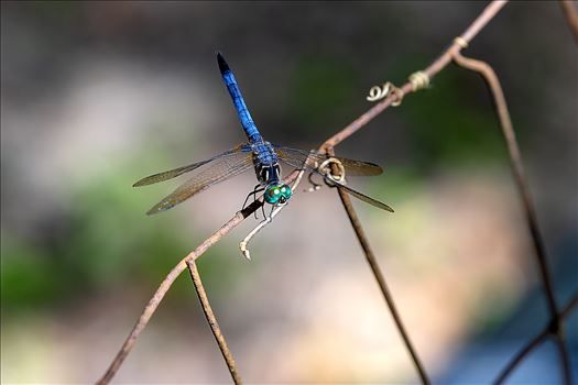 blue green dragonfly on rusted wire fence ss as 8500184.jpg by Terry Kelly Photography