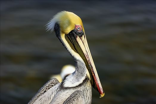 brown pelican portrait st. andrews state park 8108272.jpg by Terry Kelly Photography