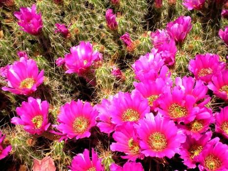 arizona-cactus-flowersun-city-west-az---cactus-flowers-photo-picture-image--arizona-uqtofh8d.jpg by WPC-144
