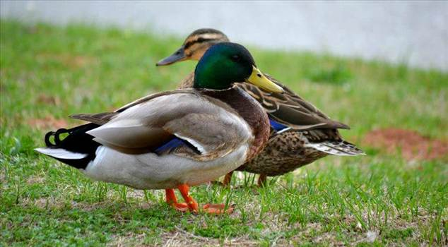 ducky.jpg by WPC-144