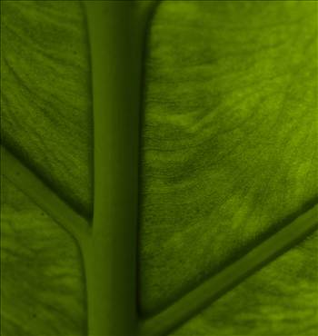 banana leaf  by WPC-153