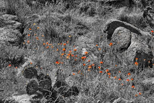 Indian Paintbrush Patch in Wichita Mountains.jpg by 405 Exposure