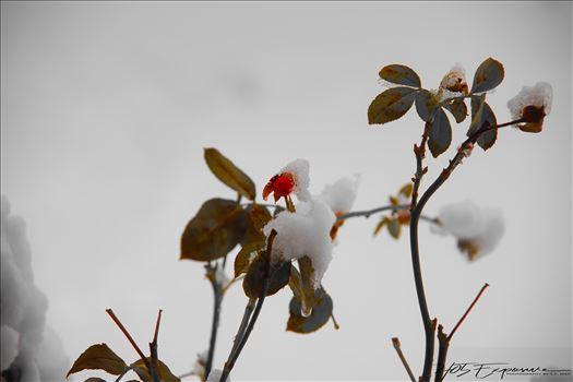 Winter Rose.jpg by 405 Exposure