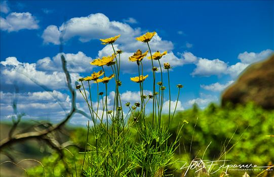 Prairie Flowers Praying to the Sun Wichita Mtns Spring 2020.jpg by 405 Exposure