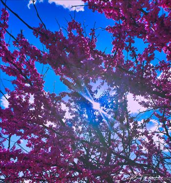 Spring Oklahoma Redbuds in Full Bloom.jpg by 405 Exposure