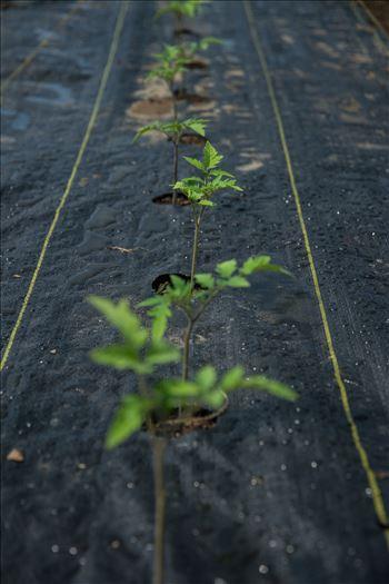 Tomato Sprouts -