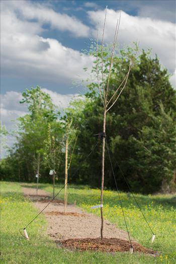 Pear Tree -