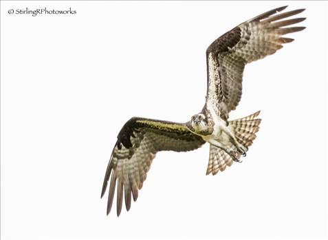 2016-06-23_Osprey_StirlingR_0001-20.jpg by 1056027744407412