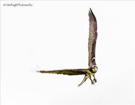 2016-06-23_Osprey_StirlingR_0001.jpg by 1056027744407412