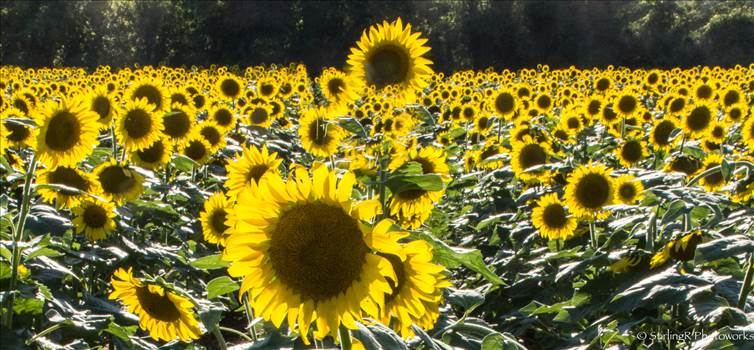 2017-07-25_Sunflowers_StirlingR_0001-11.jpg by 1056027744407412