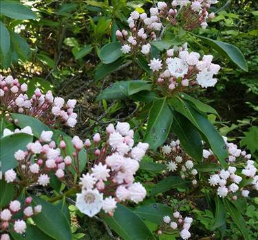 mountain laurel.jpg by finnime