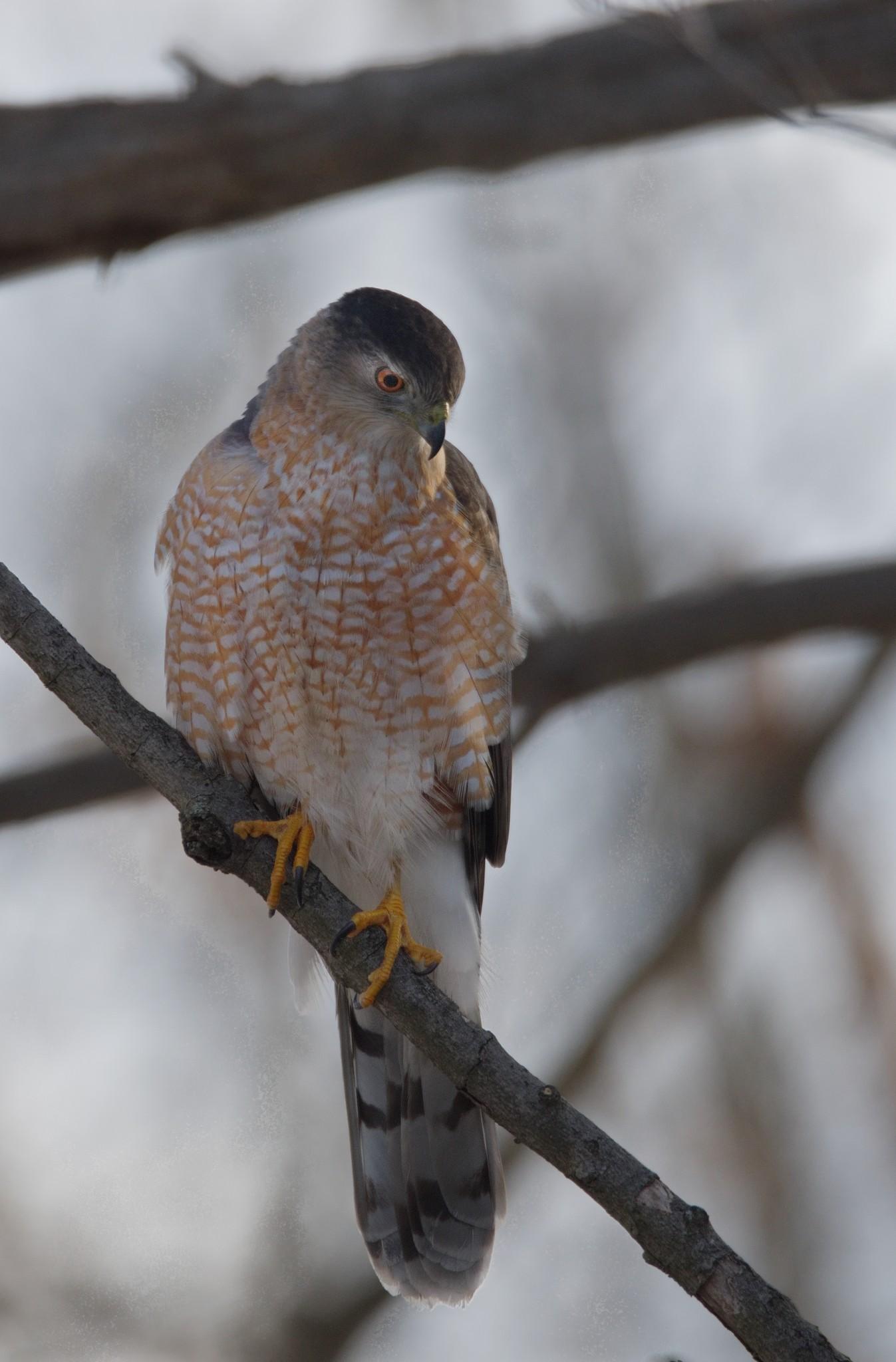 Sharp-Shinned Hawk Taken in the Wilds of Pennsylvania by Buckmaster