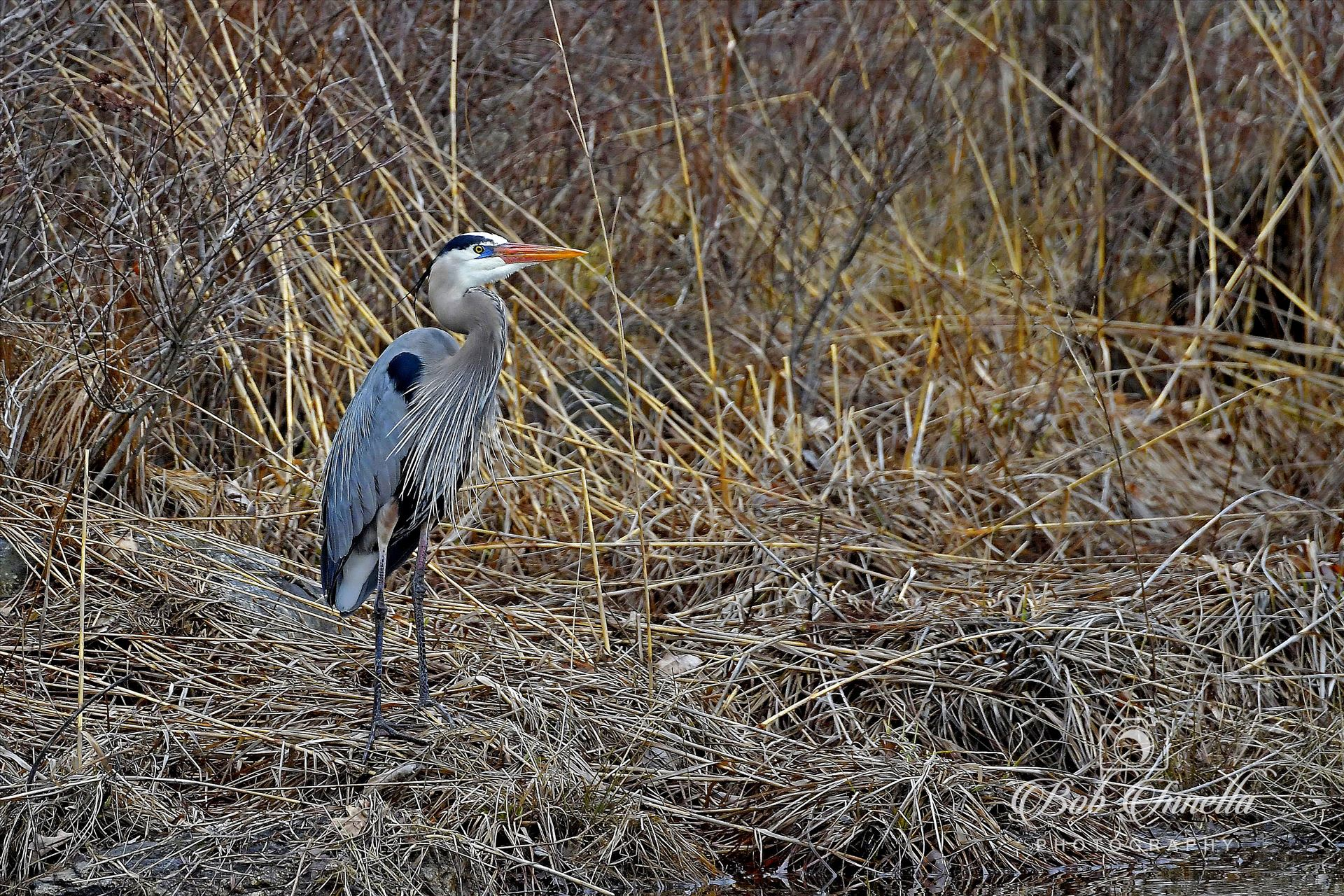 Great Blue Heron High Point State Park, NJ by Buckmaster