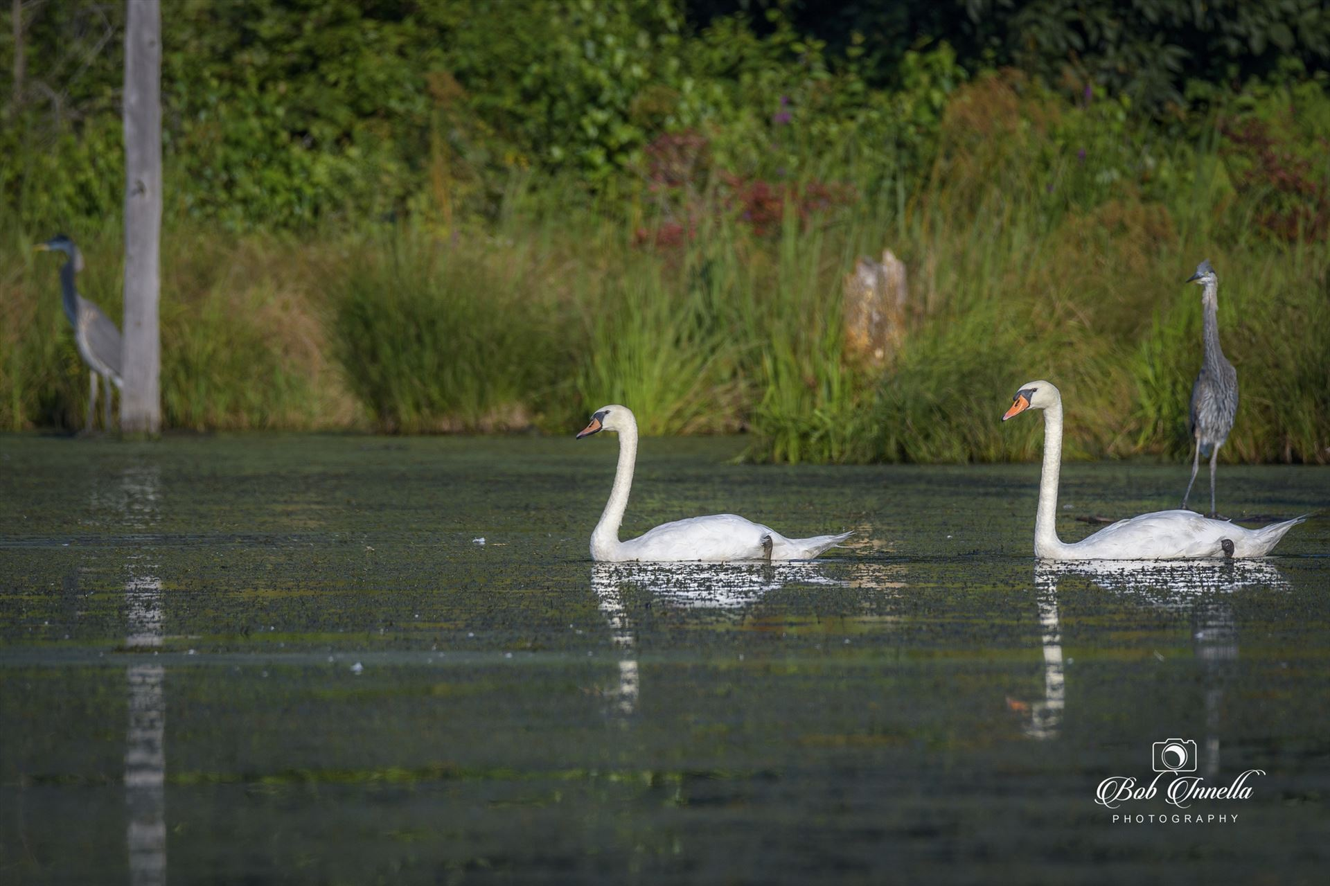 Wild White Swans 2 White Swans with Two Great Blue Herons, Layton, NJ, National Park Service Land 2018 by Buckmaster
