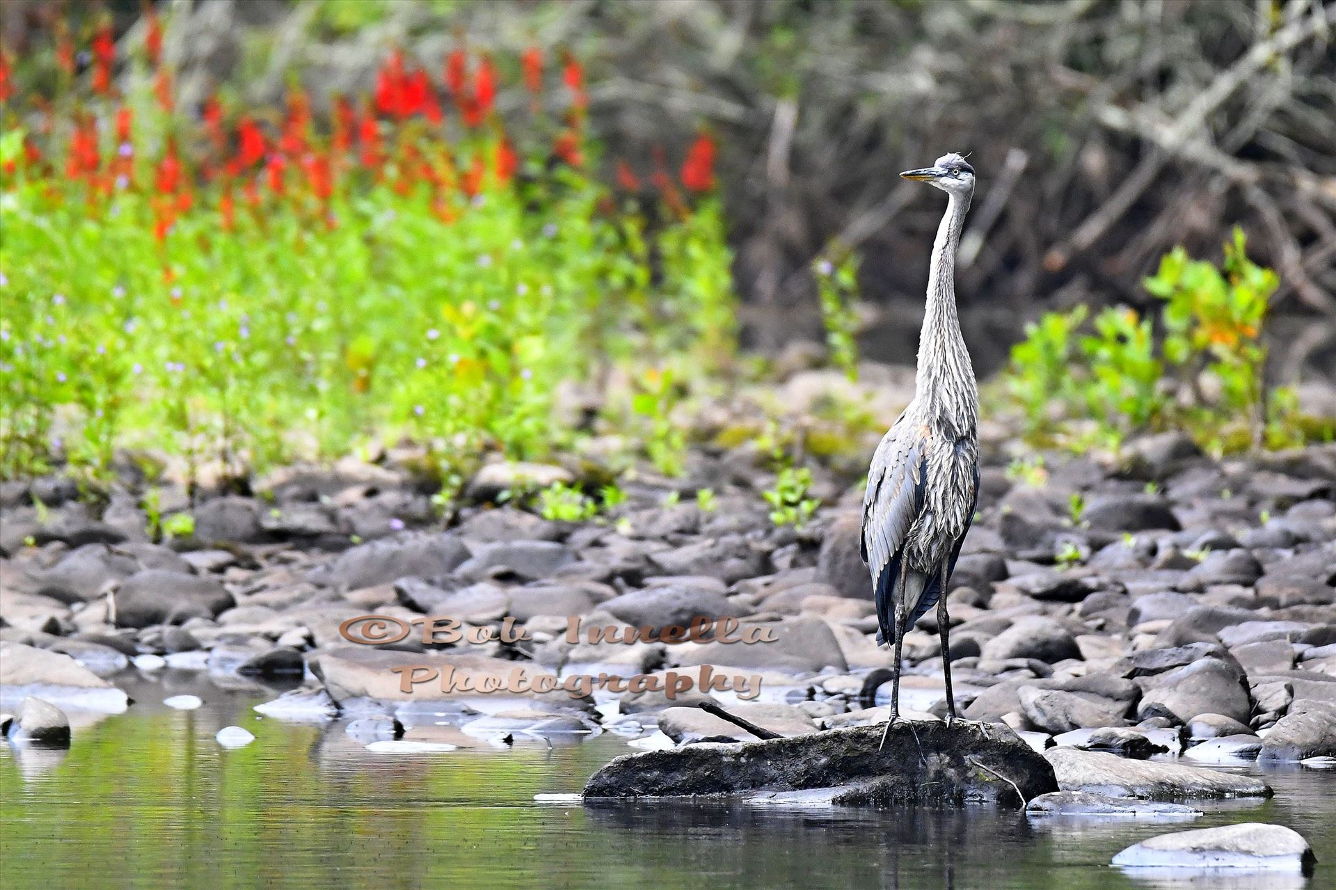 Great Blue Heron Taken on The Mongaup River, NY by Buckmaster