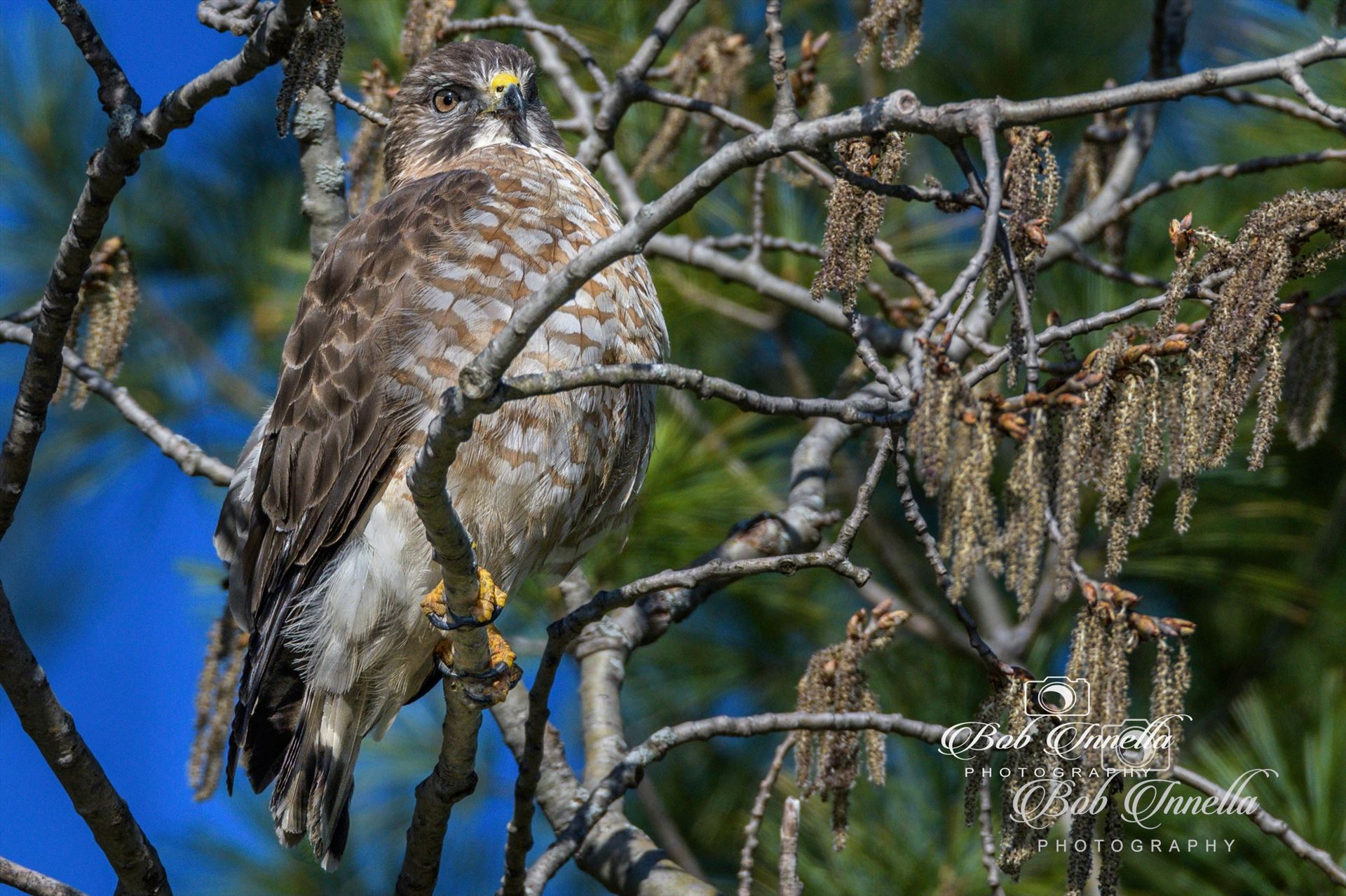 Hawk Taken In The Wilds Of Pennsylvania by Buckmaster