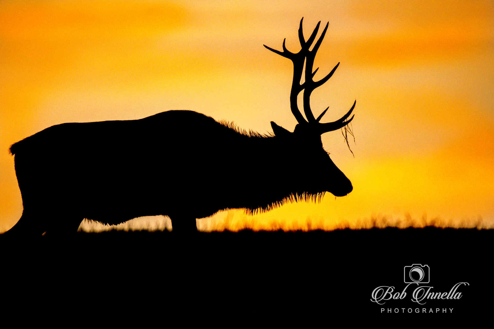 Silhouette Bull Elk At Sunrise Silhouette Bull Elk At An Amazing Sunrise by Buckmaster