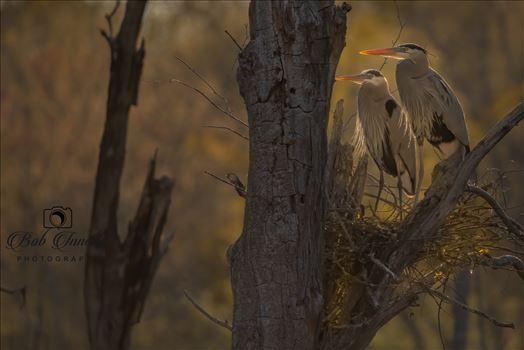 Sunrise Nesting Great Blue Herons by Buckmaster