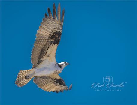 Osprey by Buckmaster