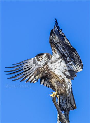 Juvenile Bald Eagle Flapping Wings by Buckmaster