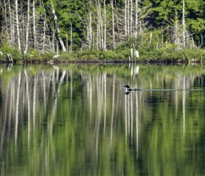 Common Loon - On Marble Pond, Northern Maine