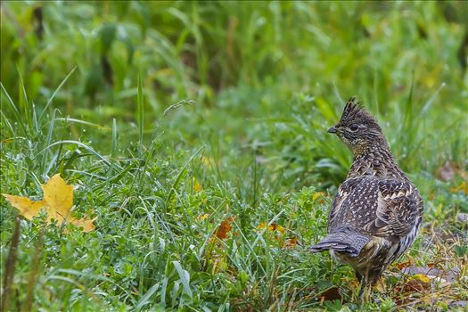Maine Ruffed Grouse by Buckmaster