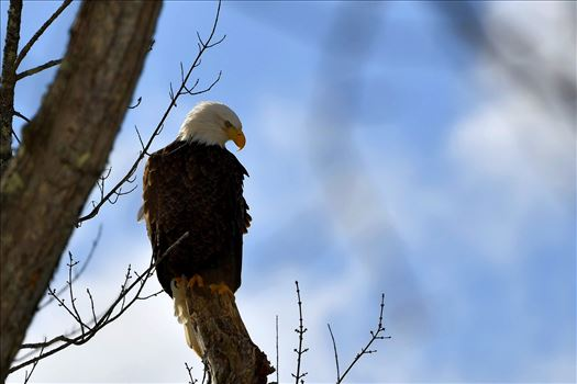 Bald Eagle with Blue Sky by Buckmaster