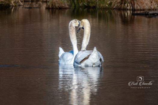 Love is in the Air Swans by Buckmaster