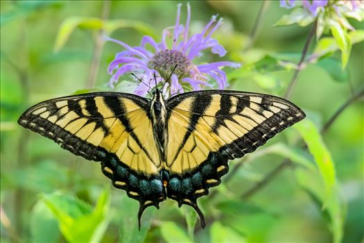 Yellow Swallowtail (1 of 1).jpg by Buckmaster