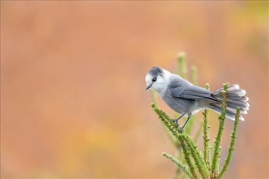 Gray Jay Perched On Top Of Pine Tree by Buckmaster