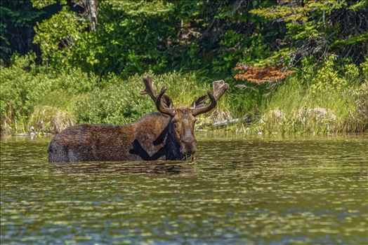 Bull Moose at a Small Pond - Moose at a Small Pond Off of Golden Road, Maine