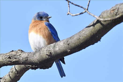 Bluebird2 by Buckmaster