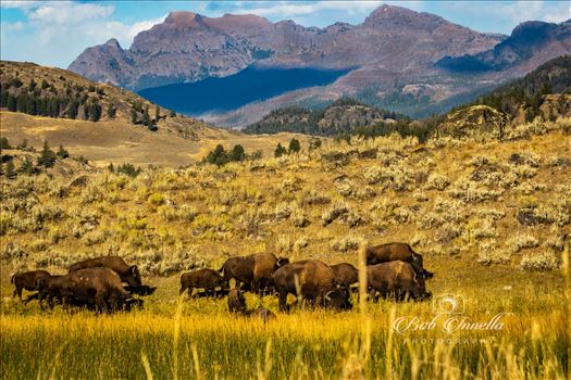Bison on Lamar Valley, Wyoming -